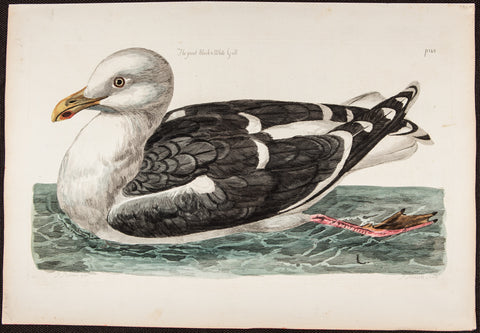 Pennant, Thomas (1726-1798), author; Paillou, Peter (c.1720-c.1790), artist: Great Black & White Gull. LG Folio Hand Coloured