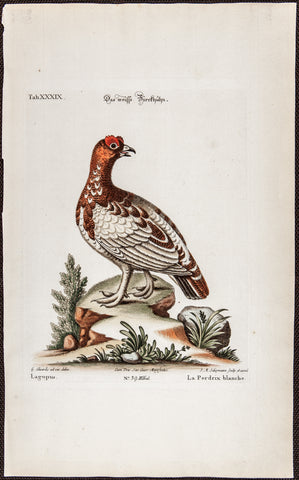 Edwards, George (1694 - 1773), artist; Seligmann, Johann Michael (1720-1762) ), artist; Catesby, Mark (1682-1749), author: RED GROUSE LAGOPUS BIRD