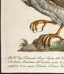Manetti, Saverio (1723-1785): Sparviere da Colombi - Goshawk