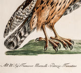 Manetti, Saverio (1723-1785): Sparviere Terzuolo Italiano, PL XXVI - Italian Sparrow hawk