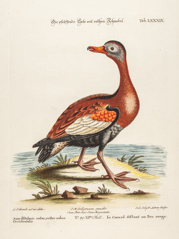 Edwards, George (1694 - 1773), artist; Seligmann, Johann Michael (1720-1762) ), artist; Catesby, Mark (1682-1749), author: Red-billed Whistling Duck, (Anas fistularis,rufus)