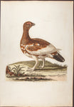 Edwards, George (1694 - 1773), artist; Pennant, Thomas (1726-1798), author: The Ptarmigan