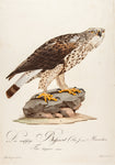 Susemihl, Johann Conrad (1767-1847):  Male Rough Legged Hawk (Falco lagopus)