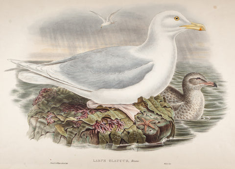 Gould, John (1804 - 1881): Rare Gould Folio Hand Colored Birds Of Great Britain Print 1862: LARUS GLAUCUS