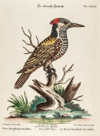 Edwards, George (1694 - 1773), artist; Seligmann, Johann Michael (1720-1762) ), artist; Catesby, Mark (1682-1749), author: SPOTTED INDIAN WOODPECKER