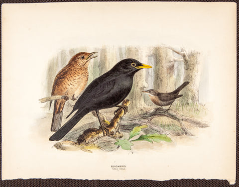 Keulemans, John Gerrard (1869-1876); Dresser, Henry Eeles (1838-1915), author.: Blackbird, plus two birds. Turdus Merula