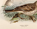 Keulemans, John Gerrard (1869-1876); Dresser, Henry Eeles (1838-1915), author.: Common Bunting. Emberiza Miliaria,