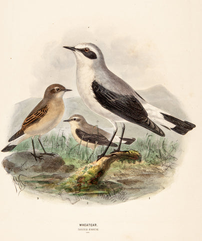 Keulemans, John Gerrard (1869-1876); Dresser, Henry Eeles (1838-1915), author.: Wheatear; Hand Colored. Birds of Europe.