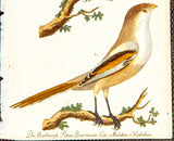Unknown Artist: Die Bartmeife (Bearded Tit). Parus Biarmicus Lin.
