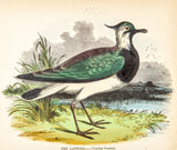 Whymper, Josiah Wood (1813-1903): The Lapwing