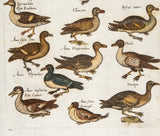 Merian, Matthäus, the Elder (1593 - 1650): Ducks, variety; Folio