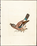 Lewin, William (1747-95): Jay Bird