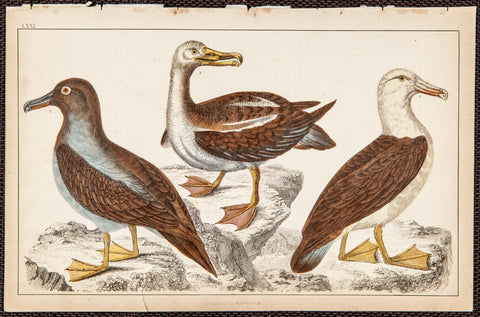 Goldsmith, Oliver (1728-1774); author: Three Seagulls