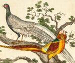 Unknown Artist: The Gold Pheasant; The Silver Pheasant