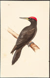 Meyer, Henry Leonard (1797-1865): Great Black Woodpecker (Picus Martius), plate 133
