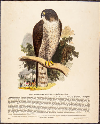 Whymper, Josiah Wood (1813-1903): THE PEREGRINE FALCON - HAND-COLORED ENGRAVING