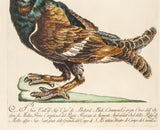Manetti, Saverio (1723-1785): Grouse (Tetrao Urogallus minor)