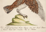 Manetti, Saverio (1723-1785): Ptarmigan (Lagopus vulgaris)