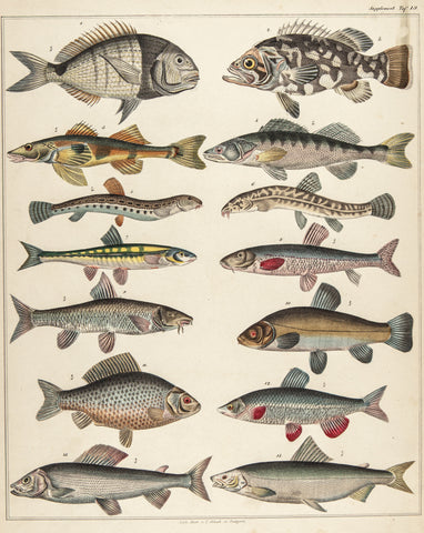 Oken, Lorenz (1779-1851): Quappen (Fishes). Plate 19 from vol. VI of Oken's Allegemeine Naturgeschichte V Zoologie