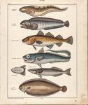 Oken, Lorenz (1779-1851): Quappen (Fishes). Plate 48 from vol. VI of Oken's Allegemeine Naturgeschichte V Zoologie