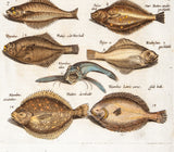 Merian, Matthäus, the Elder (1593 - 1650): Exotic Flying Fish Rhombus and others; 13 fishes; Tab XXII