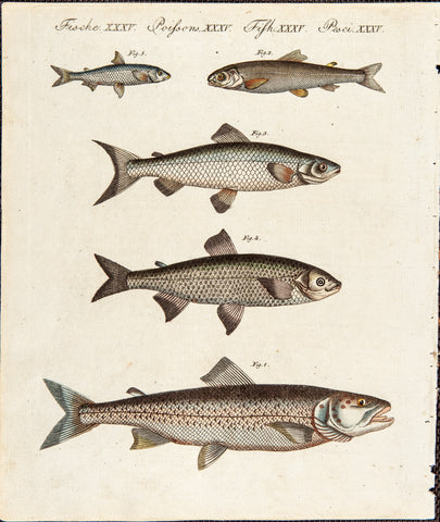 Bertuch, Friedrich Justin (1747-1822), publisher: Fishes - Trouts.