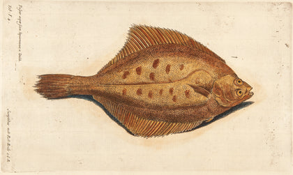 WILLUGHBY, Francis (1635-1672): Colored skate fish