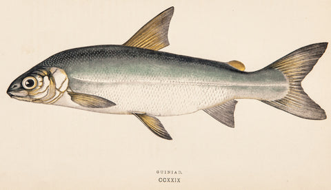 Couch, Jonathan (1789-1870): Guiniad, Plate CCXXIX Fish print