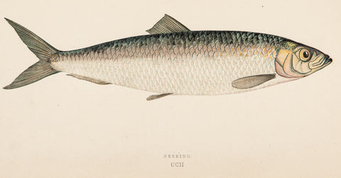 Couch, Jonathan (1789-1870): Herring Fish, Plate CCII