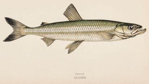 Couch, Jonathan (1789-1870): Smelt Fish, Plate CCXXVII