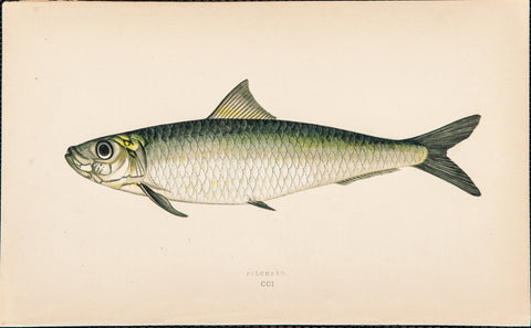 Couch, Jonathan (1789-1870): Pilchard fish, Plate CCI