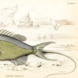 Jardine, Sir William (1800-1874), author; Smith, Charles Hamilton (1776-1859), artist: Fish, Serranus Phaeton, Plate 19