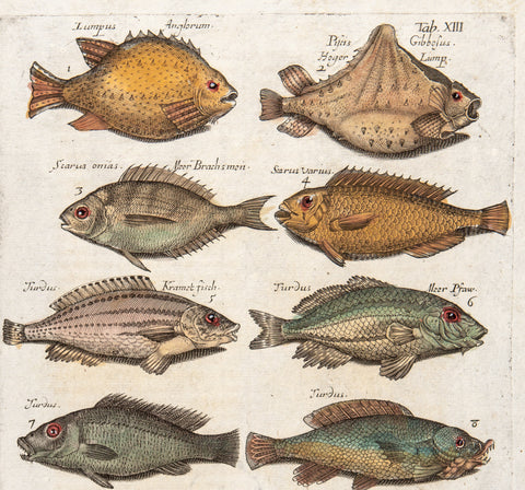 Merian, Matthäus, the Elder (1593 - 1650): 14 Fishes, Tab XIII