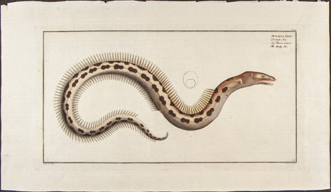 Bloch, Marcus Elieser (1723-1799): Der bunte Aal; The cheeky Eel. Plate CLIV
