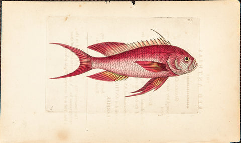 Shaw, George (1751-1813): Red Anthias - Swallowtail Seaperch