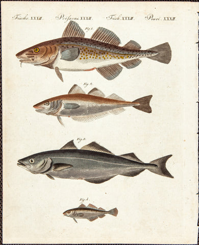 Bertuch, Friedrich Justin (1747-1822), publisher: Scale Fish, Cod