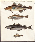 Betruch, Friedrich Justin (1747-1822), publisher: Scale Fish, Cod