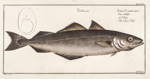 Bloch, Marcus Elieser (1723-1799): Gadus Carbonarius; Der Köhler; The Coal Fish