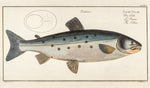 Bloch, Marcus Elieser (1723-1799): Salmo Salar; The Salmon