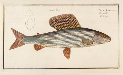 Bloch, Marcus Elieser (1723-1799): Salmo Thymallus; The Grayling