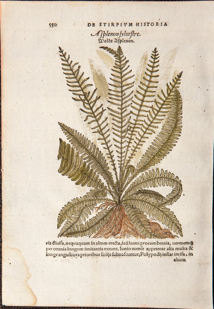Kandel, David (1526-1553); Bock, Hieronymus (1498-1554): FERNS - 2 Original Handcolored WOODCUTS leaf