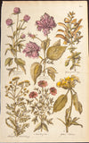 Hill, John (c.1714-1775): Rose Hibiscus Tansy Sage Flowers