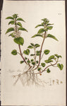 Curtis, William (1746-1799): White Dead Nettle (Lamium album) - FIRST EDITION!