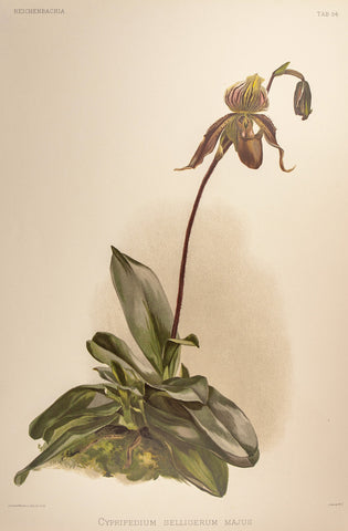 Sander, Henry Friedrich (1847-1920); Moon, Henry George (1847-1905): Sanders - Lady's Slipper - Cypripedium. 54 - Reichenbachia, Orchids FOLIO