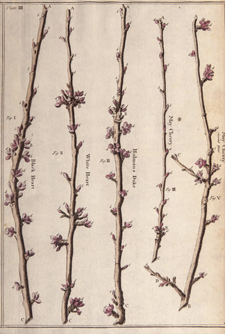Langley, Batty (1696-1751): May Cherry, Cherry tree branches