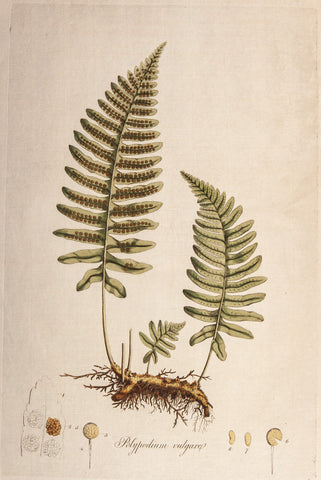 Curtis, William (1746-1799): Polypody Fern (Polypodium vulgare) - First Edition