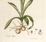 Curtis, William (1746-1799): Meadow Orchis (Orchis Moro) - First Edition