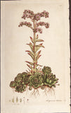 Curtis, William (1746-1799): Houseleek (Sempervivum tectorum) - First Edition
