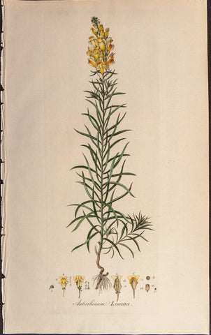 Curtis, William (1746-1799): Toad Flax (Antirrhinum linaria) - First Edition