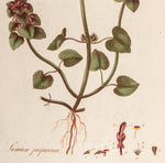 Curtis, William (1746-1799): Red Lamium or Dead Nettle (Lamium purpureum)